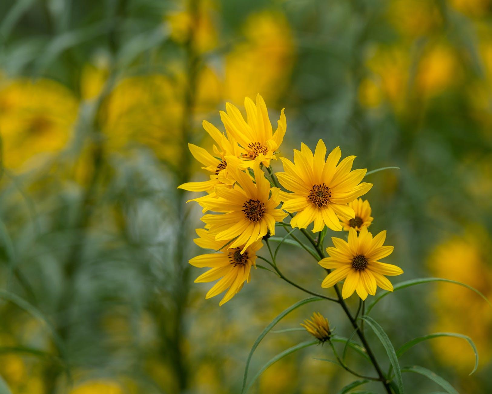 blooming yellow topinambur flowers in nature